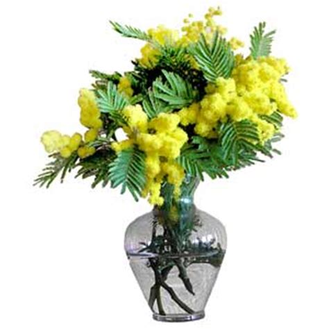 mimosa in vaso mimosa in vaso consegna fiori a domicilio