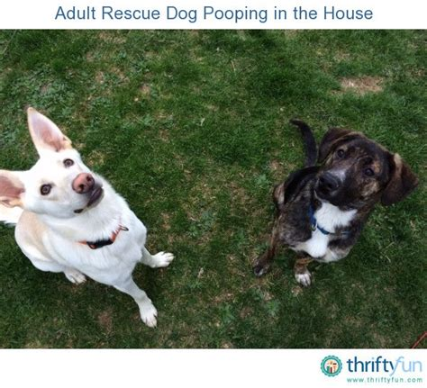 Adult Rescue Dog Pooping In The House Thriftyfun