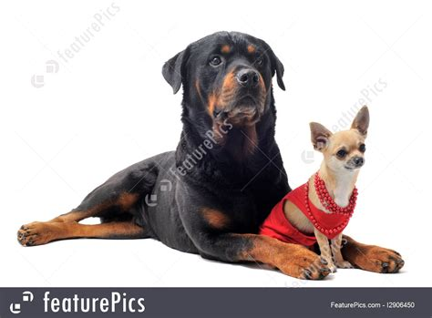 chihuahua and rottweiler rottweiler and chihuahua image