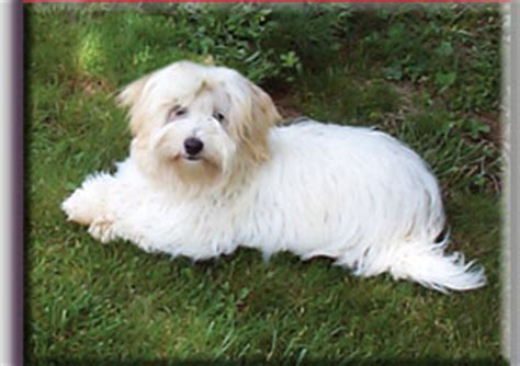 puppies for sale in ri coton puppies for sale rhode island coton de tulear breeders cotons breeds picture