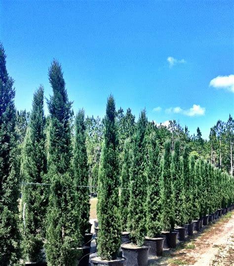 italian cypress fraserview nursery