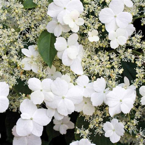 facing climbing plants 17 best ideas about hydrangea petiolaris on