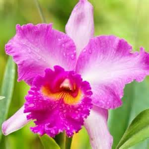 this is the beautiful cattleya orchid flower it s also