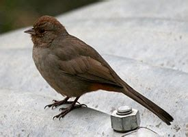 california towhee identification all about birds