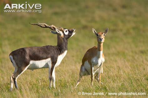 picture of black buck blackbuck photo antilope cervicapra g37039 arkive