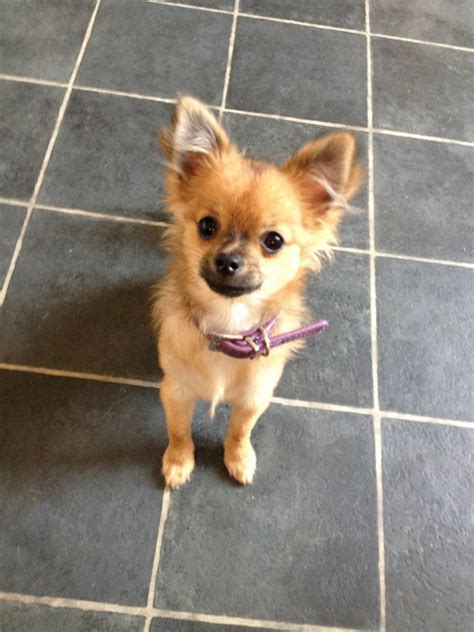 chihuahua x pomeranian 5 month chihuahua x pomeranian for sale basildon essex pets4homes