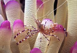 Udang Hias Api By Bkc Shrimp seaocean aquarium udang udangan shrimp