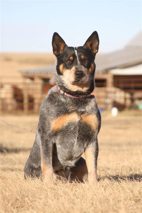 ranch dogs photo gallery pictures of australian cattle dogs breeds picture
