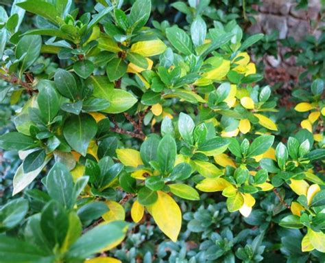 Gardenia Yellow Flowers This Week S Mystery Plants And Rambling In The Garden
