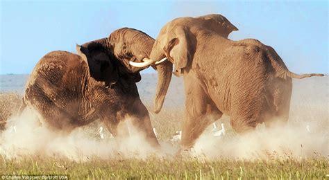 Elephant Gajah Display the animal zone raging bull elephants fight for supremacy