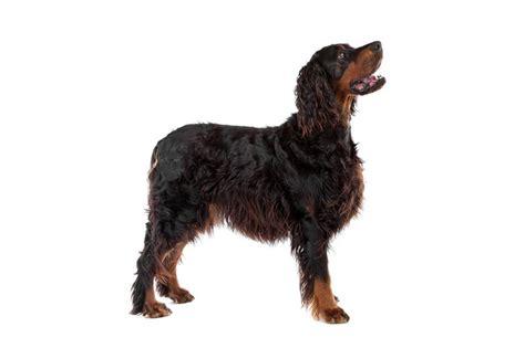 gordon setter guard dog gordon setter 14 jpg gordon setter dog breeds