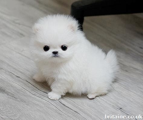 white teacup pomeranian puppies for sale uk white teacup pomeranian puppies for sale in middlesex