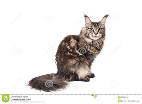 cat sitting on a white background stock photo image