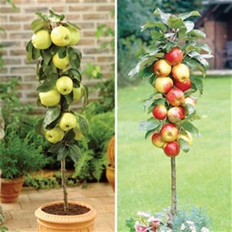 patio fruit trees in containers patio apple trees 2 gold gala fruit trees