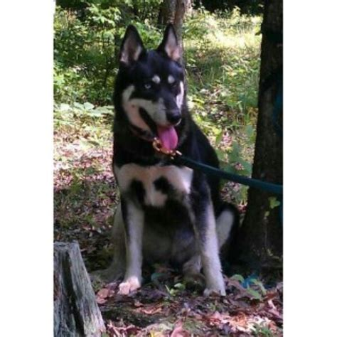 husky puppies for sale in arkansas pomeranian husky mix everything you need to wallpaper breeds picture