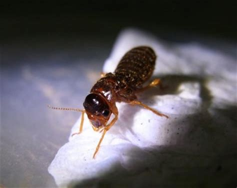 Termites Secondary Queen
