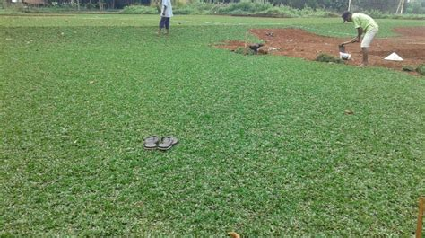 Jual Rumput Gajah Mini Murah 085771389043 tukang taman bogor murah dan berkualitas