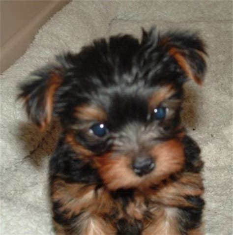 6 week yorkie puppy terrier photos pictures terriers page 3
