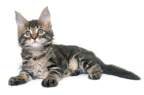 alimentazione gatto 2 mesi alimentazione gatto cucciolo di maine coon che fare