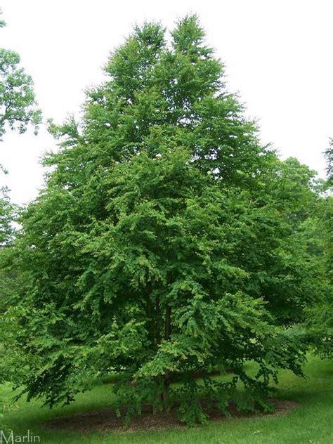 katsura tree in the yard pinterest
