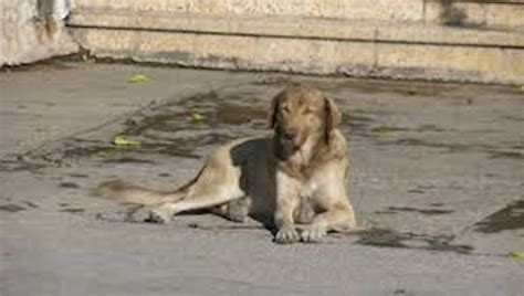abandoned golden retriever 36 golden retrievers abandoned on streets get rescued