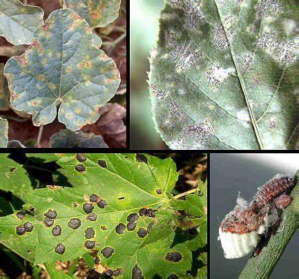 enfermedades de las plantas de interior enfermedades de las plantas hongos plantas de interior