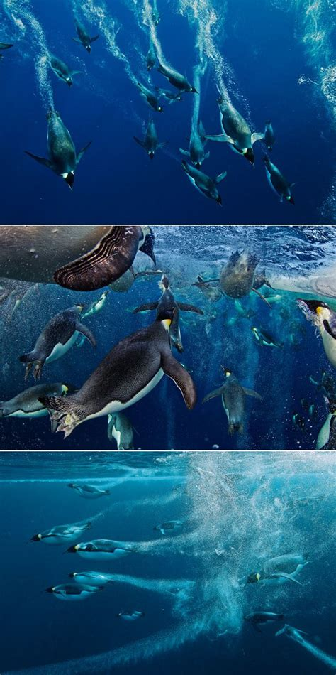Geo Emperor Aftermarket 1000 images about paul nicklen national geographic photographer on creative