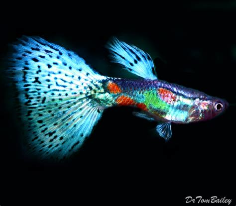 guppies colors 1000 images about guppies on
