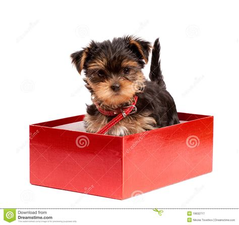 yorkie gifts terrier puppy in gift box stock image image of background pretty