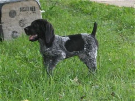 german shorthaired pointer puppies for sale in michigan german shorthaired pointer puppies for sale