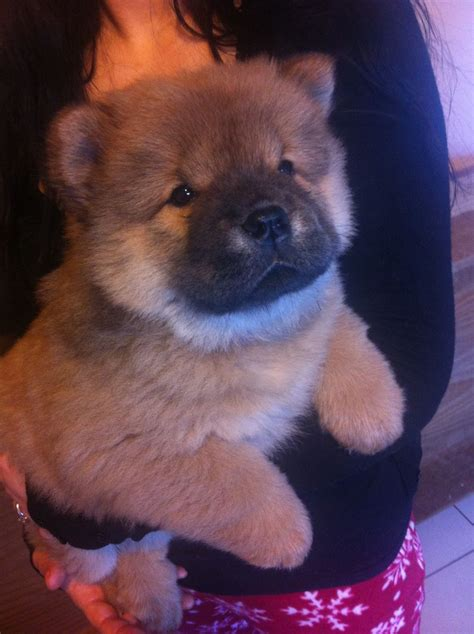 chow chow puppy for sale chunky chow chow puppies for sale kingswinford west midlands pets4homes