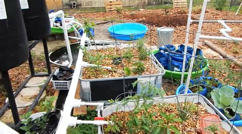 backyard tilapia aquaponics backyard aquaponics the survival gardener