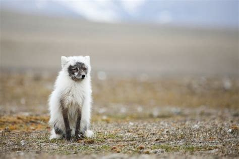 Dogs Shedding Winter Coat by Nature In An Arctic Fox In The Process Of
