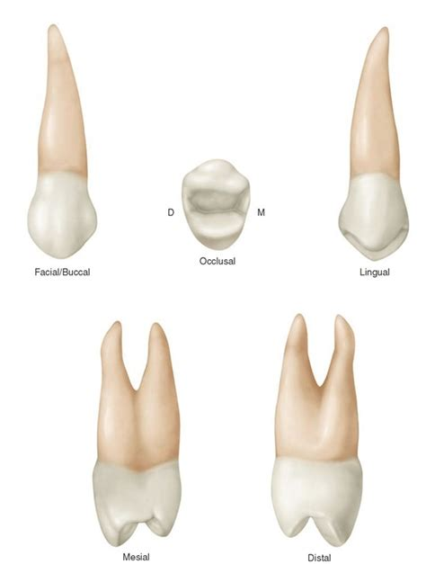 Maxillary Premolar Review Of Tooth Morphology Dental Anatomy Physiology And