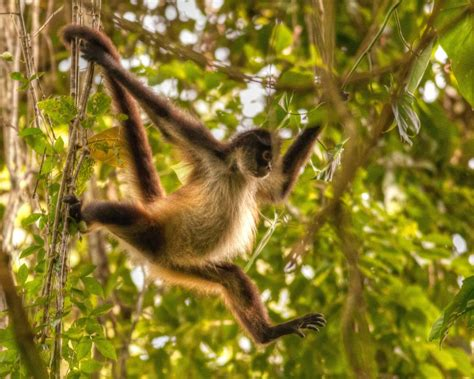 monkey swinging on a vine shooting wild monkey s in chiapas expat journal