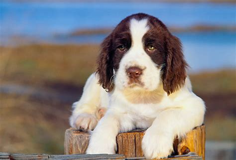english springer spaniel bench top springer spaniel meme images for pinterest tattoos