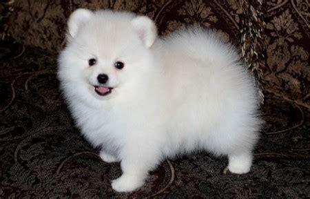 white pomeranian for sale pomeranian for sale petsale inc