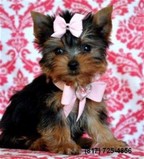 10 week yorkie puppies baby maltese puppies for home burlington nc asnclassifieds