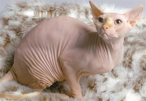 sphynx pictures information training grooming and kittens