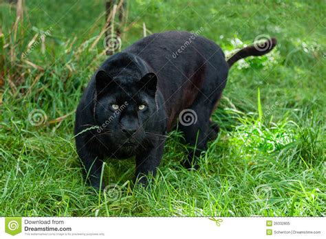 black leopard hunting   long grass stock image