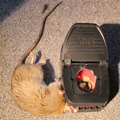 how to catch a rat in the house how to catch a rat in the house 28 images how to trap a mouse the best way to