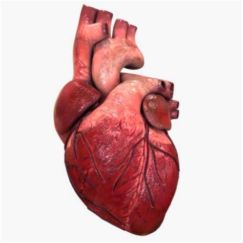 imagenes medicas de corazon el coraz 243 n humano aumentaty community