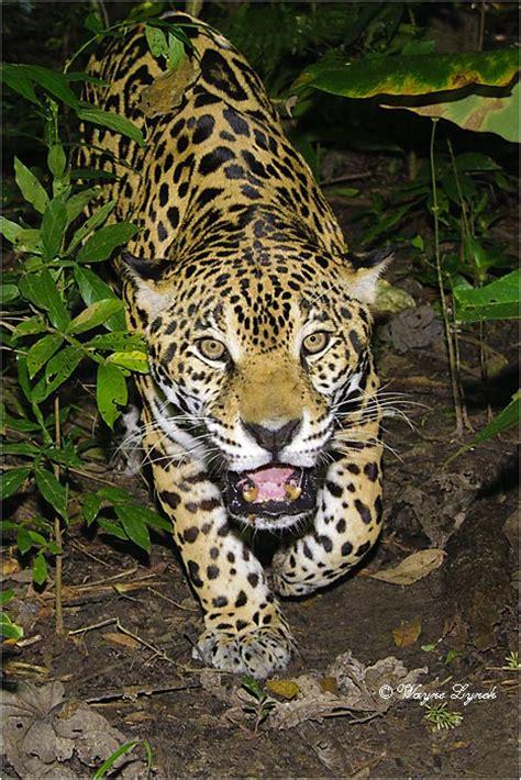 jaguars rainforest tropical rainforest jaguar cubs www pixshark