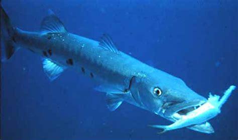 Umpan Pancing Laut savaged by the barracuda malialitman