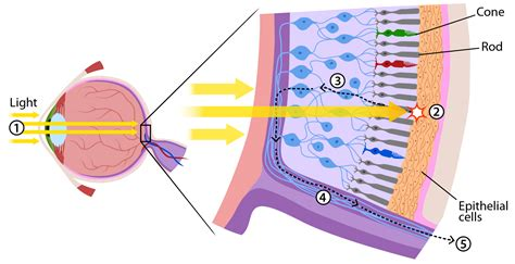 rods in the retina are the receptors for color how do we see light ask a biologist