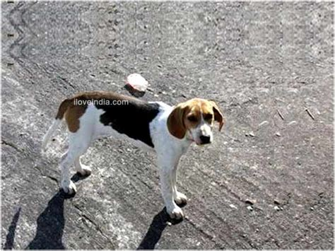 harrier puppies for sale beagle harrier breeds picture