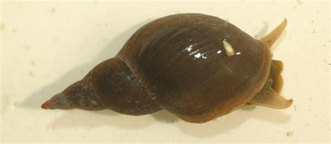how should s nails be snails freshwater habitats trustfreshwater habitats trust