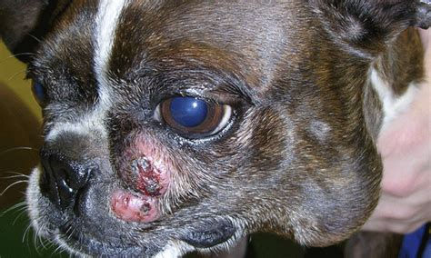 mast cell cancer in dogs diagnosis management of canine mast cell tumors clinician s brief