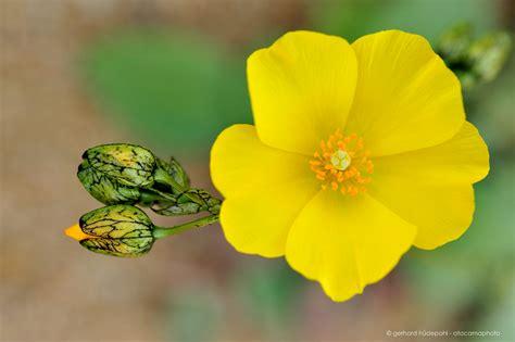 desert flower atacama desert in bloom desierto florido chile