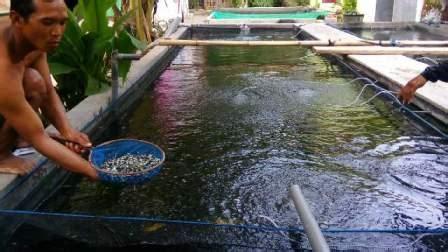 Jual Bibit Ikan Koi Kediri jual bibit ikan jenis unggulan untuk budidaya
